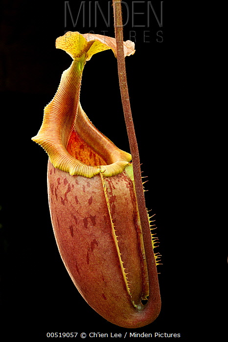 Veitch's Pitcher Plant (Nepenthes veitchii) and Pitcher Plant (Nepenthes mira) hybrid, Lindulla, Sri Lanka  -  Ch'ien Lee