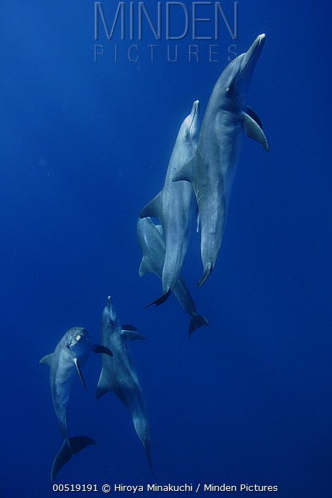 Indo-pacific Bottlenose Dolphin (Tursiops aduncus) pod, Ogasawara Island, Japan  -  Hiroya Minakuchi