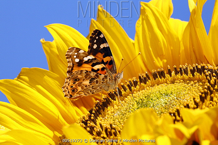 Painted Lady (Vanessa cardui) butterfly feeding on Common Sunflower (Helianthus annuus) nectar, Lower Saxony, Germany  -  Duncan Usher