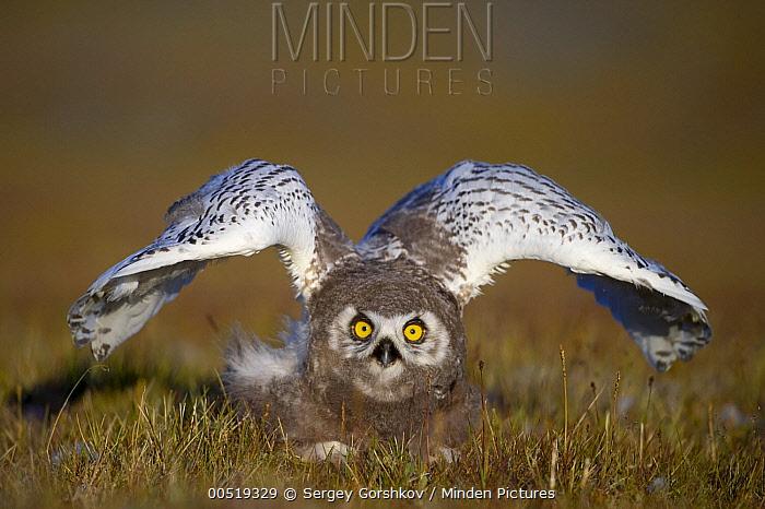 Snowy Owl (Nyctea scandiaca) chick in defensive posture, Wrangel Island, Russia  -  Sergey Gorshkov