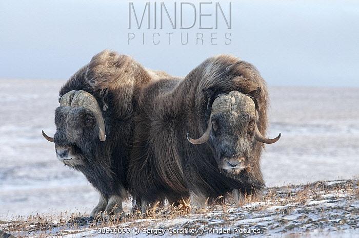 Muskox (Ovibos moschatus) pair, Wrangel Island, Russia  -  Sergey Gorshkov