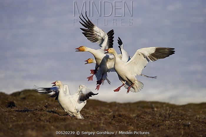 Snow Goose (Chen caerulescens) group taking flight and calling, Wrangel Island, Russia  -  Sergey Gorshkov