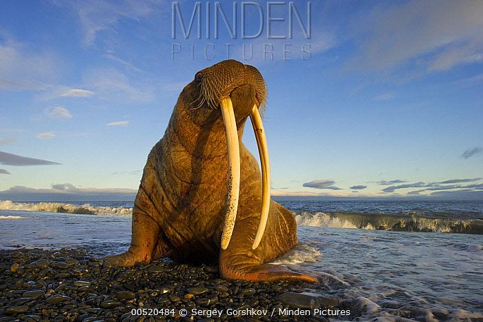 Pacific Walrus (Odobenus rosmarus divergens), Wrangel Island, Russia  -  Sergey Gorshkov