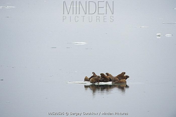 Pacific Walrus (Odobenus rosmarus divergens) group huddled on a small ice floe, Wrangel Island, Russia  -  Sergey Gorshkov