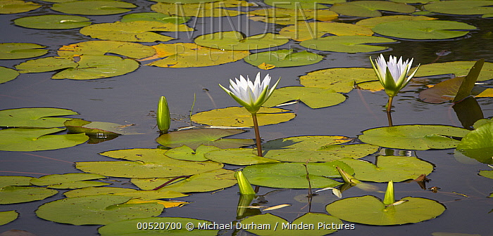 Cape Blue Water-lily (Nymphaea capensis) flowers, Matopos Hills, Zimbabwe  -  Michael Durham