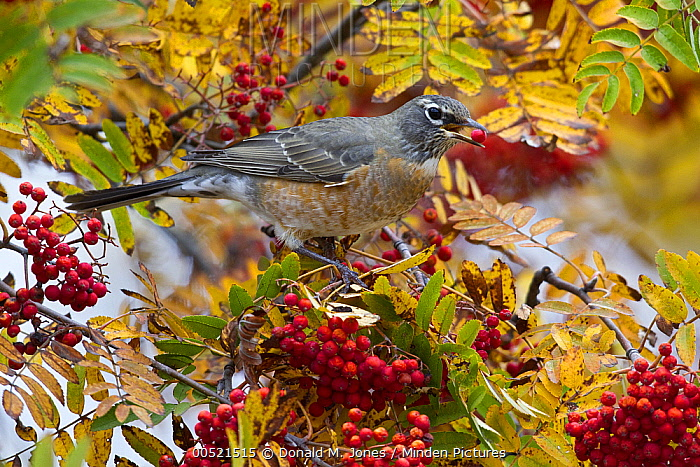 American Robin (Turdus migratorius) female feeding on berries, Troy, Montana  -  Donald M. Jones