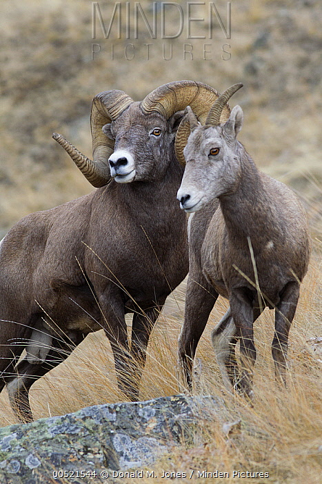 Bighorn Sheep (Ovis canadensis) ram and female, western Montana  -  Donald M. Jones