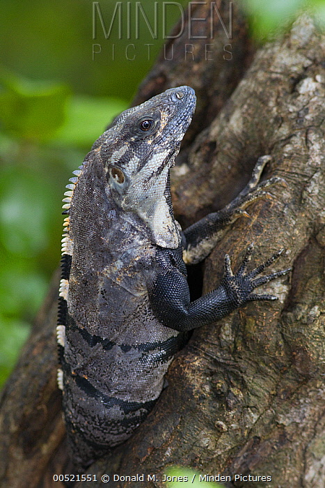 Black Spiny-tailed Iguana (Ctenosaura similis) in tree, Yucatan Peninsula, Mexico  -  Donald M. Jones