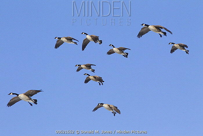 Canada Goose (Branta canadensis) flock flying, central Montana  -  Donald M. Jones