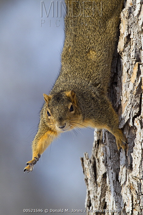 Eastern Fox Squirrel (Sciurus niger) hanging in tree, Great Falls, Montana  -  Donald M. Jones