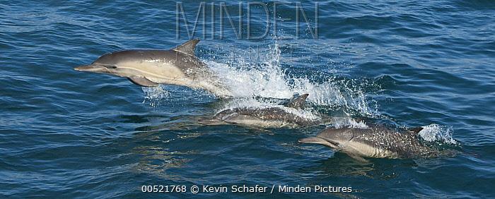 Common Dolphin (Delphinus delphis) pod, Santa Barbara Channel, Channel Islands National Marine Sanctuary, California  -  Kevin Schafer