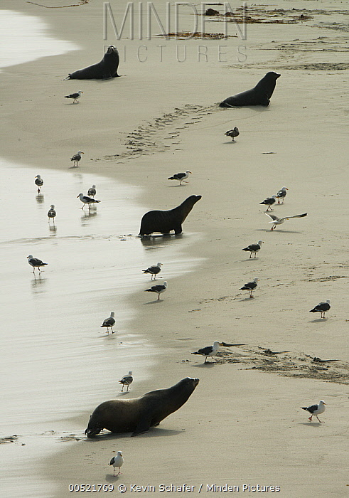 California Sea Lion (Zalophus californianus) group coming ashore at major breeding colony, Point Bennet, San Miguel Island, Channel Islands National Park, California  -  Kevin Schafer
