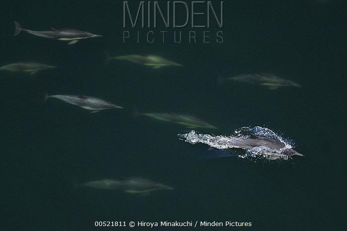 Short-beaked Common Dolphin (Delphinus delphis) pod with one surfacing, California  -  Hiroya Minakuchi