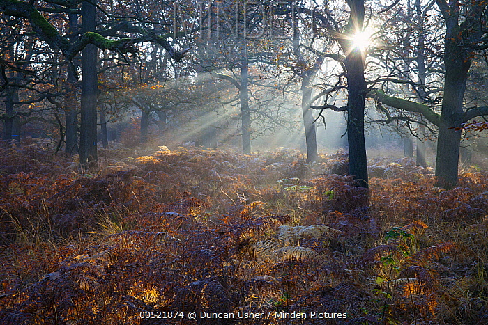 English Oak (Quercus robur) forest at sunrise in autumn, Hessen, Germany  -  Duncan Usher