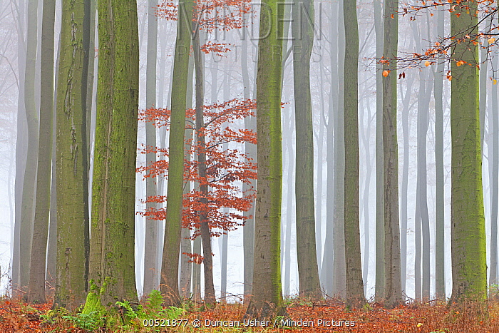 European Beech (Fagus sylvatica) forest in autumn, Germany  -  Duncan Usher