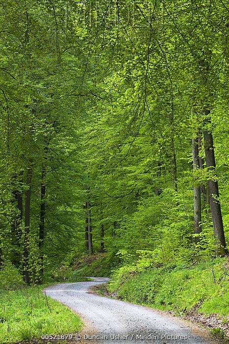 European Beech (Fagus sylvatica) forest in spring with road, Lower Saxony, Germany  -  Duncan Usher