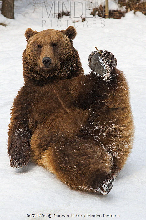 Brown Bear (Ursus arctos) lying in snow and holding its paw, Germany  -  Duncan Usher
