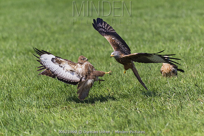 Red Kite (Milvus milvus) attacking Common Buzzard (Buteo buteo) over food, Germany  -  Duncan Usher