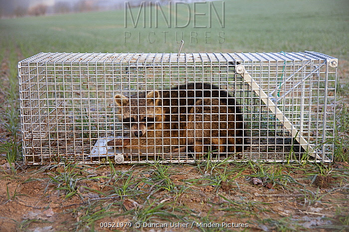Raccoon (Procyon lotor) caught in live trap, Lower Saxony, Germany  -  Duncan Usher