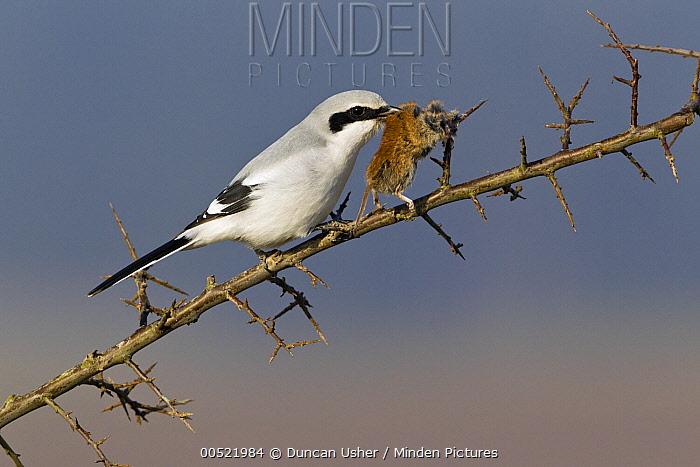 Great Grey Shrike (Lanius excubitor) feeding on impaled mouse prey on thorn bush branch, Germany  -  Duncan Usher