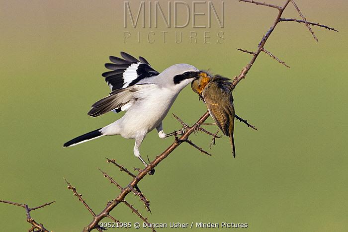 Great Grey Shrike (Lanius excubitor) feeding on impaled European Robin (Erithacus rubecula) prey on thorn bush branch, Germany  -  Duncan Usher