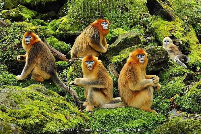 Golden Snub-nosed Monkey (Rhinopithecus roxellana) troop, Qinling Mountains, Shaanxi, China  -  Thomas Marent
