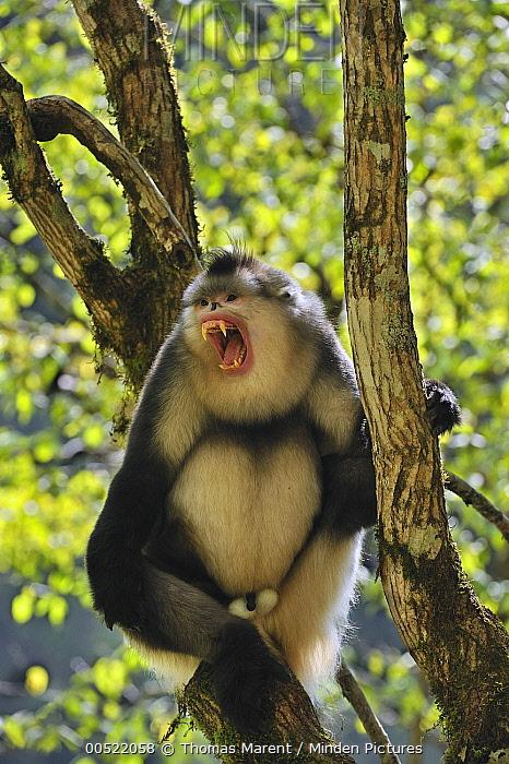 Yunnan Snub-nosed Monkey (Rhinopithecus bieti) male in threat display, Yunnan Province, China  -  Thomas Marent