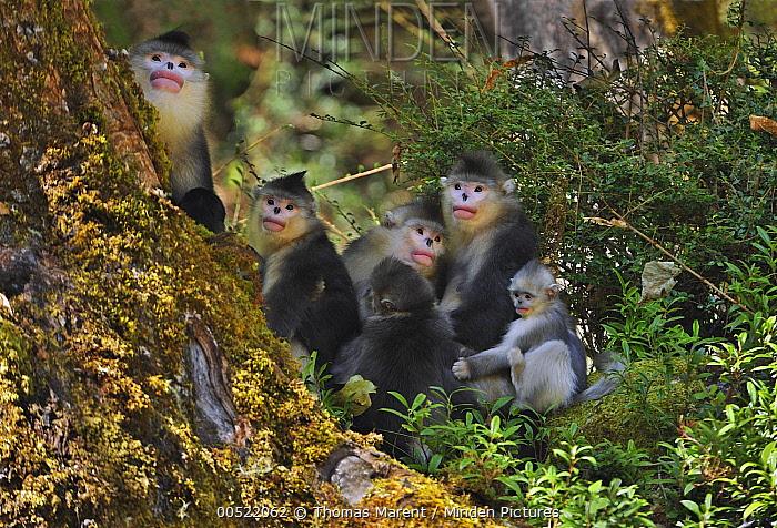 Yunnan Snub-nosed Monkey (Rhinopithecus bieti) troop, Yunnan Province, China  -  Thomas Marent