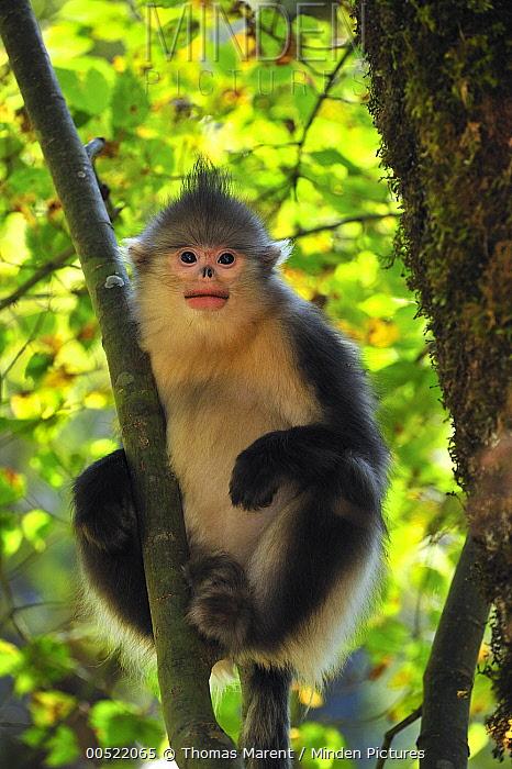 Yunnan Snub-nosed Monkey (Rhinopithecus bieti) in tree, Yunnan Province, China  -  Thomas Marent