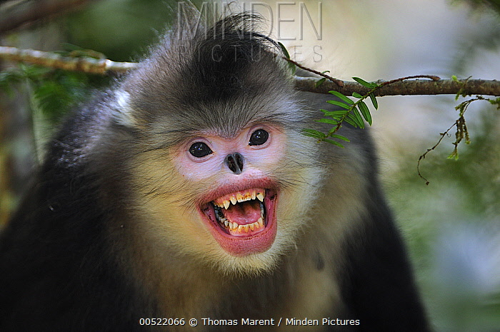Yunnan Snub-nosed Monkey (Rhinopithecus bieti) in threat display, Yunnan Province, China  -  Thomas Marent