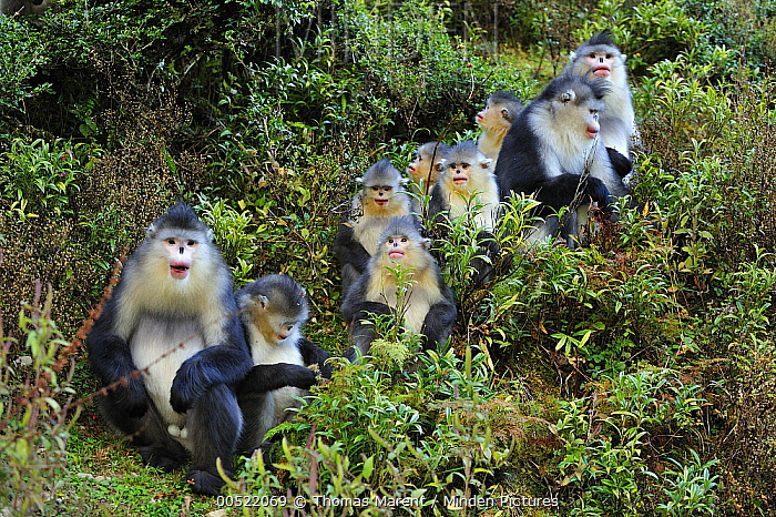 Yunnan Snub-nosed Monkey (Rhinopithecus bieti) females with young, Yunnan Province, China  -  Thomas Marent