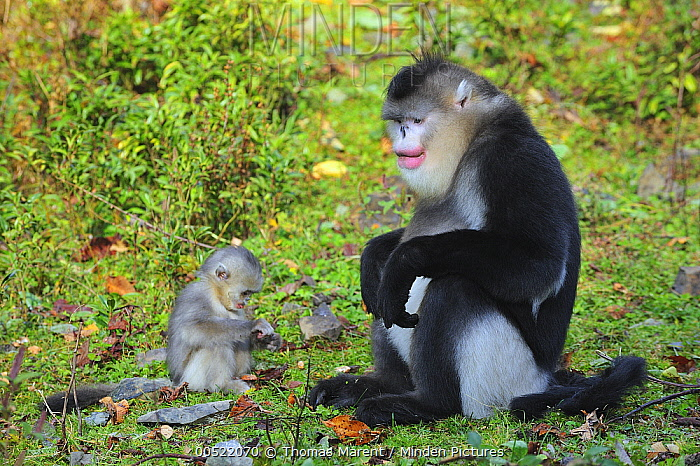 Yunnan Snub-nosed Monkey (Rhinopithecus bieti) mother with young, Yunnan Province, China  -  Thomas Marent