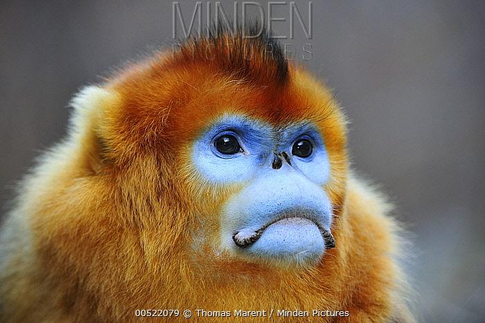 Golden Snub-nosed Monkey (Rhinopithecus roxellana) male, Qinling Mountains, Shaanxi, China  -  Thomas Marent