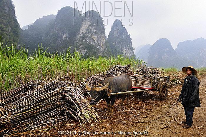 Water Buffalo (Bubalus arnee) used by farmer to collect sugarcane, Guangxi, China  -  Thomas Marent
