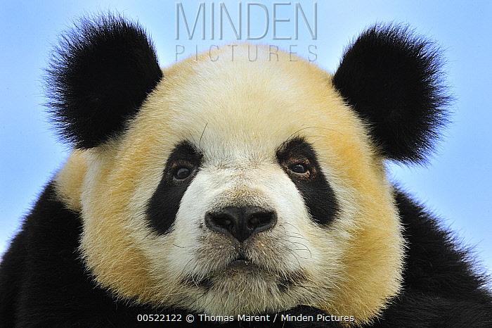Giant Panda (Ailuropoda melanoleuca), Qinling Mountains, Shaanxi, China  -  Thomas Marent