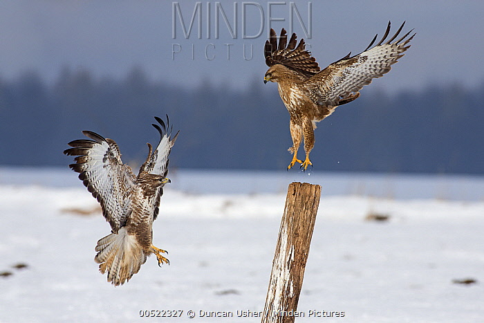 Common Buzzard (Buteo buteo) pair attempting to land on same post, Germany  -  Duncan Usher