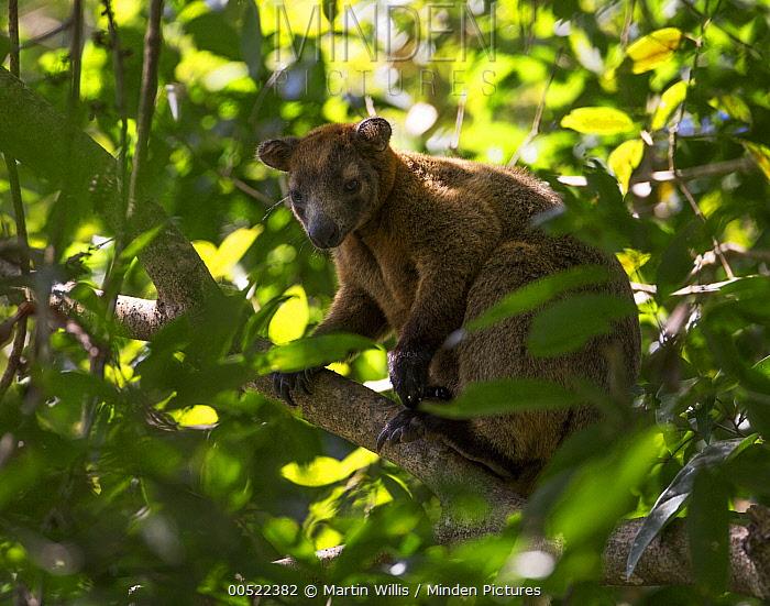 Bennett's Tree-kangaroo (Dendrolagus bennettianus), Queensland, Australia  -  Martin Willis