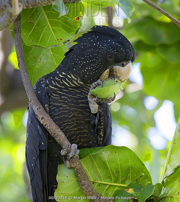 Red-tailed Black-Cockatoo (Calyptorhynchus banksii) feeding on Indian Almond (Terminalia catappa) nut, Townsville, Queensland, Australia  -  Martin Willis
