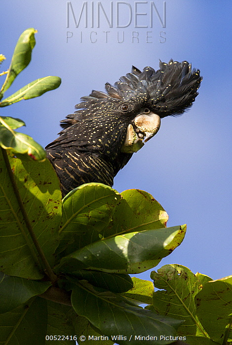 Red-tailed Black-Cockatoo (Calyptorhynchus banksii) perched in an Indian Almond (terminalia catappa) tree, Townsville, Queensland, Australia  -  Martin Willis
