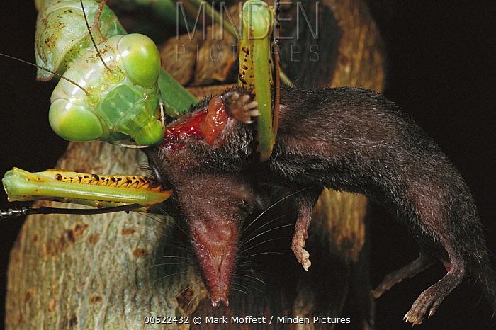 Mantis eating a shrew, Myanmar  -  Mark Moffett