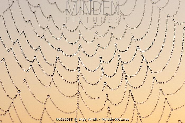 Garden Spider (Araneus diadematus) on web covered in dew drops, Germany  -  Ingo Arndt