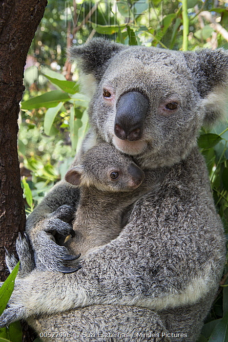 Koala (Phascolarctos cinereus) mother cuddling her seven-month-old joey, Queensland, Australia  -  Suzi Eszterhas