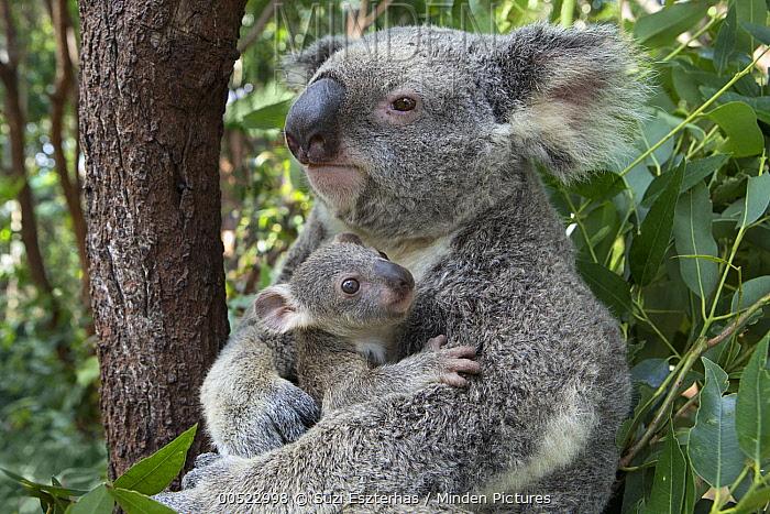 Koala (Phascolarctos cinereus) mother mother cuddling her seven-month-old joey, Queensland, Australia  -  Suzi Eszterhas