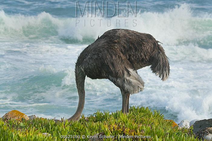 Ostrich (Struthio camelus) female feeding near shore, Cape of Good Hope, Cape Peninsula, South Africa  -  Kevin Schafer