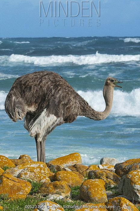 Ostrich (Struthio camelus) female near shore, Cape of Good Hope, Cape Peninsula, South Africa  -  Kevin Schafer