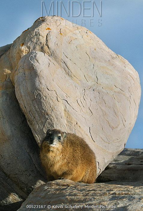 Rock Hyrax (Procavia capensis), Cape of Good Hope, Cape Peninsula, South Africa  -  Kevin Schafer