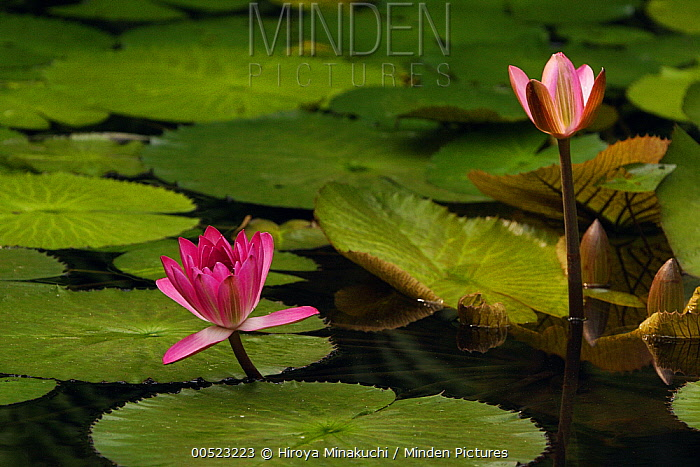 Water Lily (Nymphaea gigantea) flowers in botanical garden  -  Hiroya Minakuchi