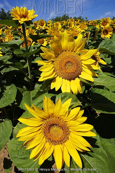 Common Sunflower (Helianthus annuus) field in bloom, Hokkaido, Japan  -  Hiroya Minakuchi
