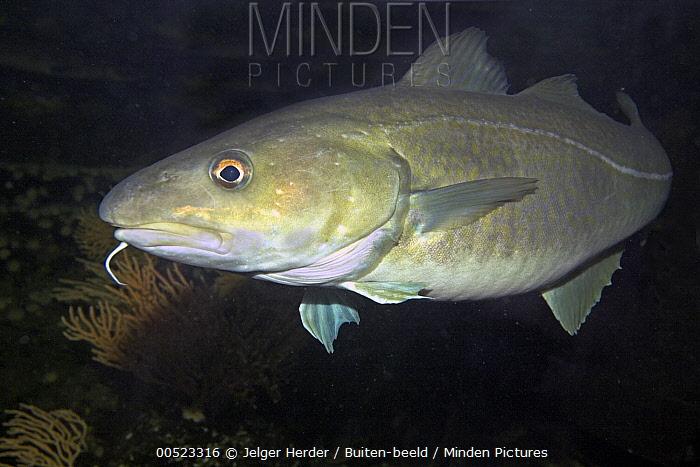 Atlantic Cod (Gadus morhua) swimming, Netherlands  -  Jelger Herder/ Buiten-beeld
