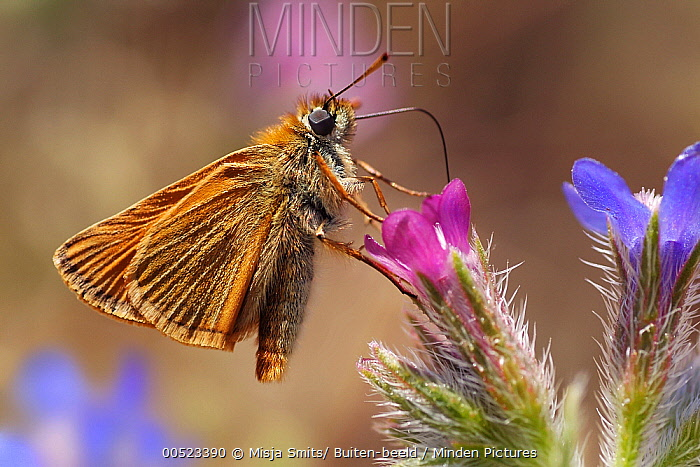 Small Skipper (Thymelicus sylvestris) butterfly, Samos, Greece  -  Misja Smits/ Buiten-beeld